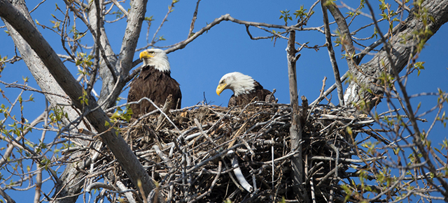 Site C Project Getting In Hot Water Over Eagle's Nests