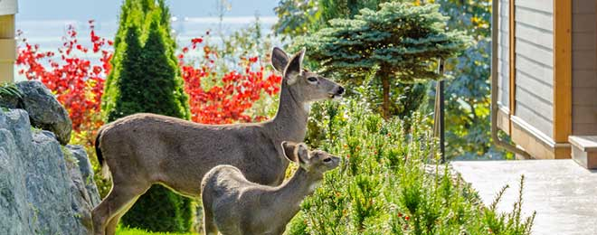 $100,000 Committed To Urban Deer Management